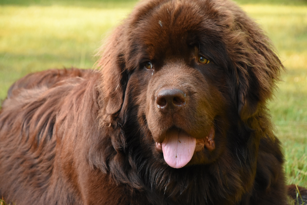 best newfoundland dog beds