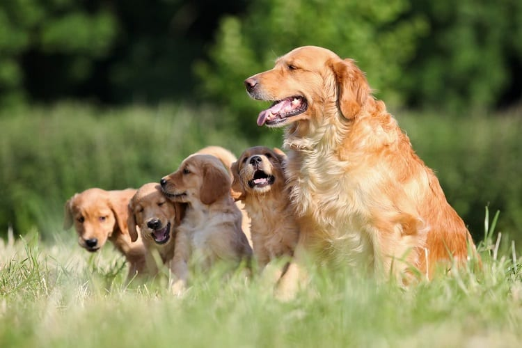The Life Stages Of Golden Retrievers